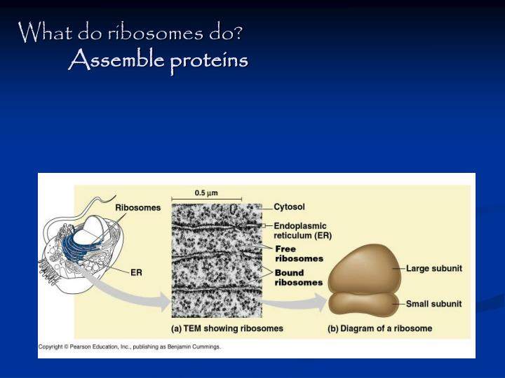 What do ribosomes do?