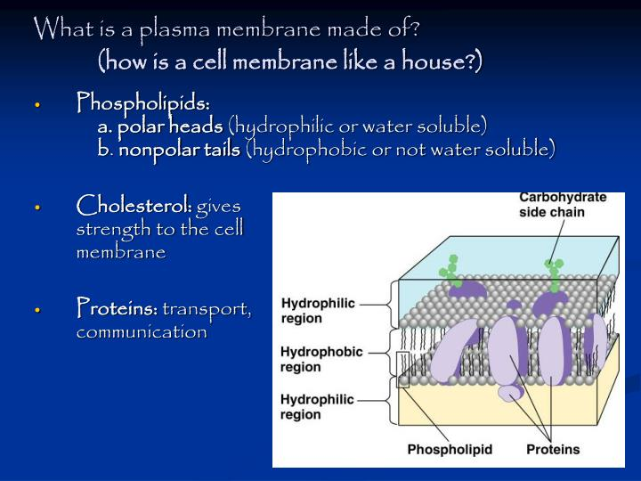 What is a plasma membrane made of?