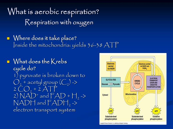 What is aerobic respiration?