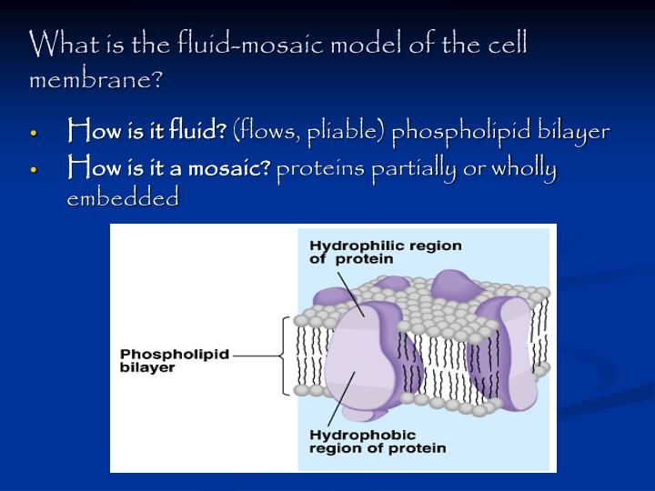 What is the fluid-mosaic model of the cell membrane?