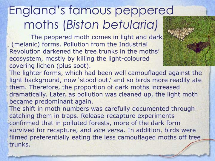 England's famous peppered moths (