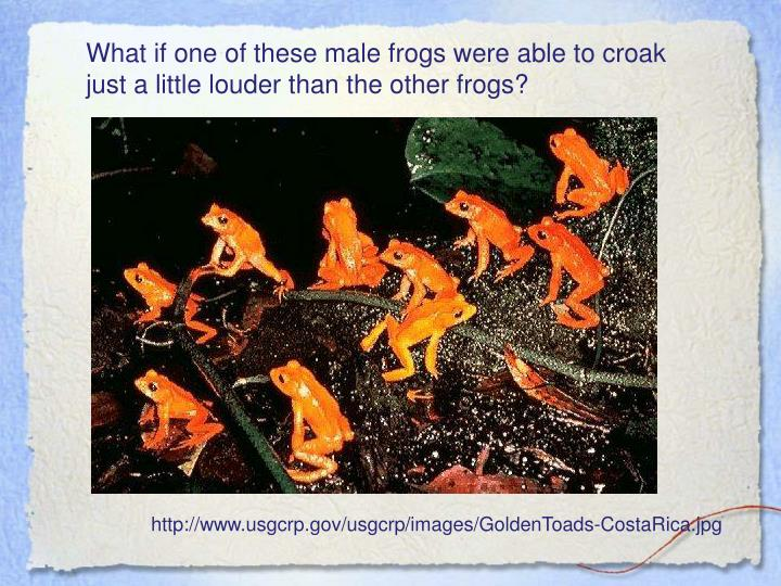 What if one of these male frogs were able to croak just a little louder than the other frogs?