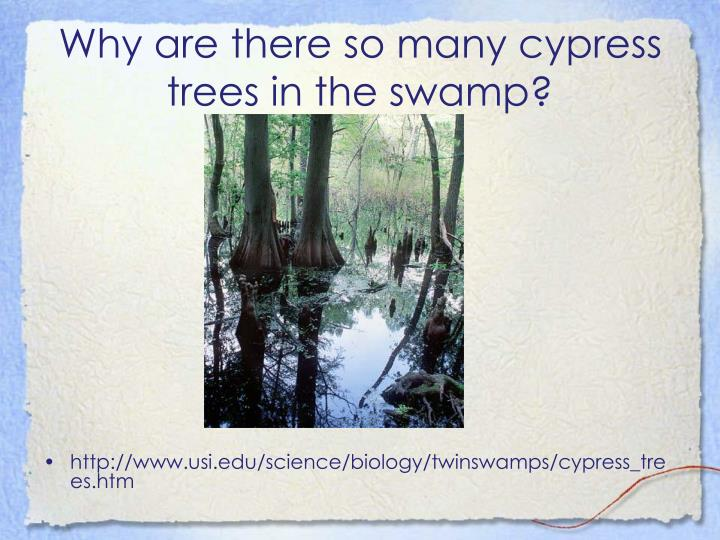 Why are there so many cypress trees in the swamp?