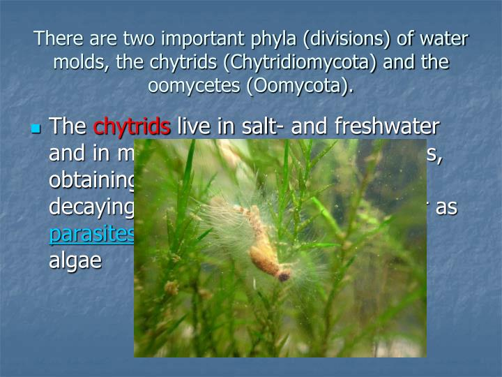 There are two important phyla (divisions) of water molds, the chytrids (Chytridiomycota) and the oomycetes (Oomycota).