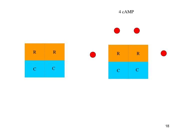 4 cAMP