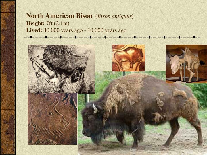 North American Bison