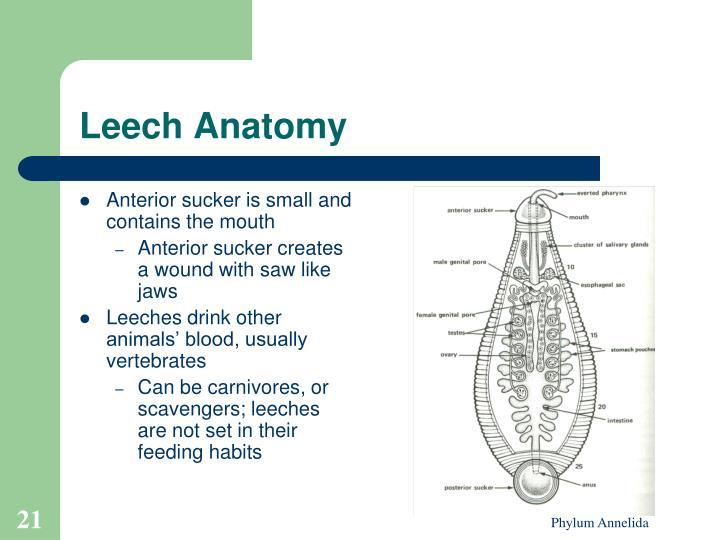 Fancy Anatomy Of Leech Elaboration - Anatomy And Physiology Biology ...