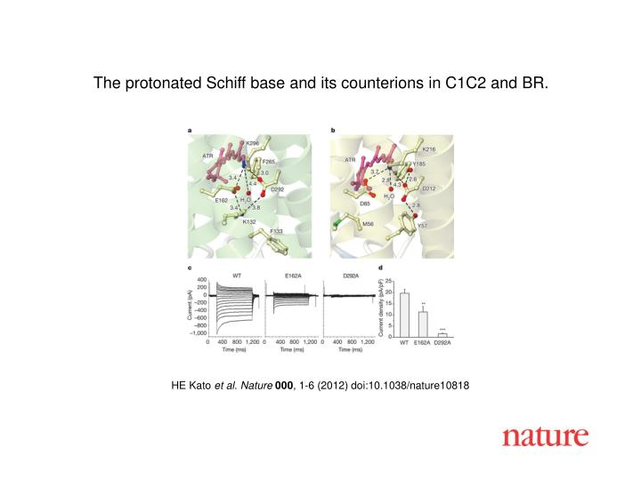 The protonated Schiff base and its counterions in C1C2 and BR.