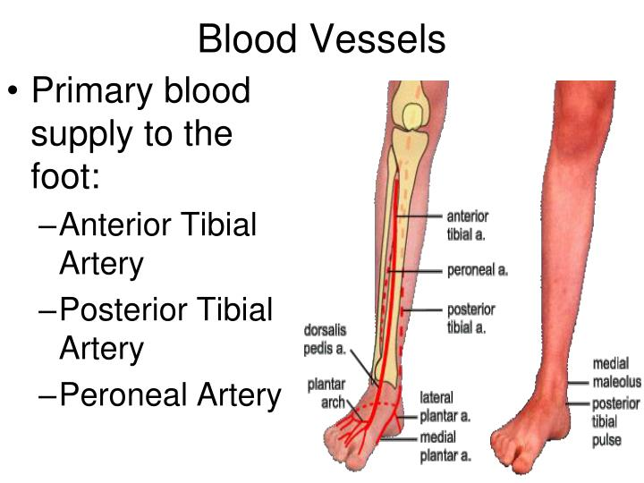 Ppt Anatomy Of Ankle And Foot Powerpoint Presentation Id5491347