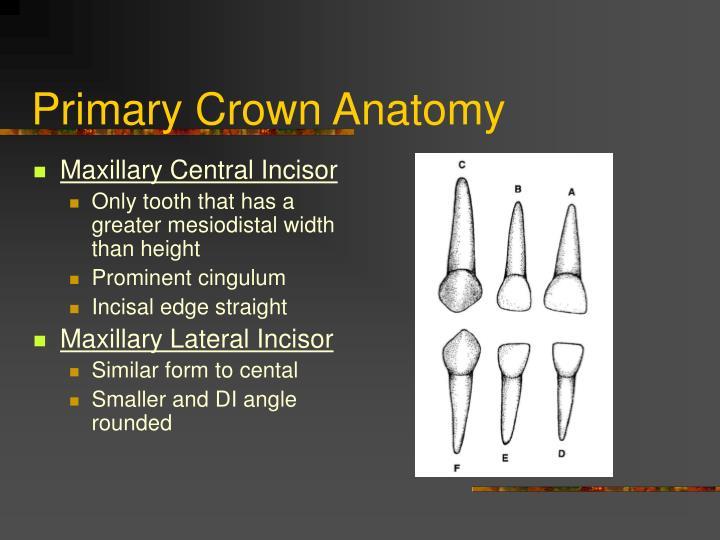 Ppt Anatomy Of Primary Teeth Powerpoint Presentation Id5491899