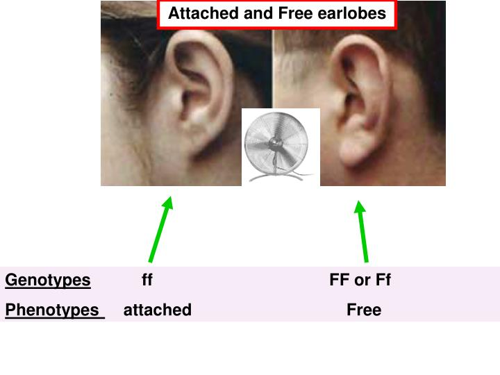 Attached and Free earlobes