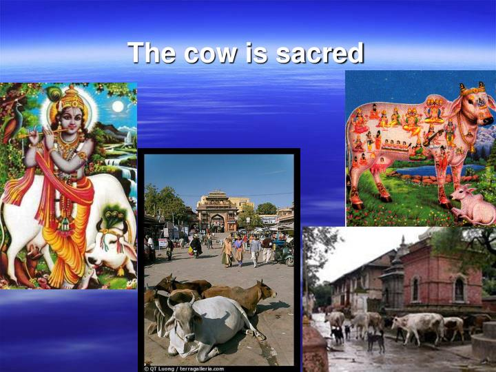 The cow is sacred