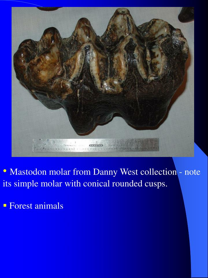 Mastodon molar from Danny West collection - note its simple molar with conical rounded cusps.