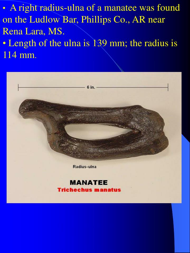 A right radius-ulna of a manatee was found on the Ludlow Bar, Phillips Co., AR near Rena Lara, MS.