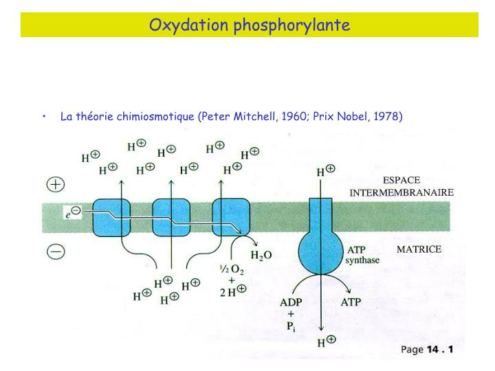 Oxydation phosphorylante