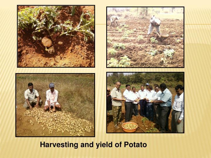 Harvesting and yield of Potato
