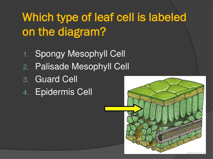 Which type of leaf cell is labeled on the diagram