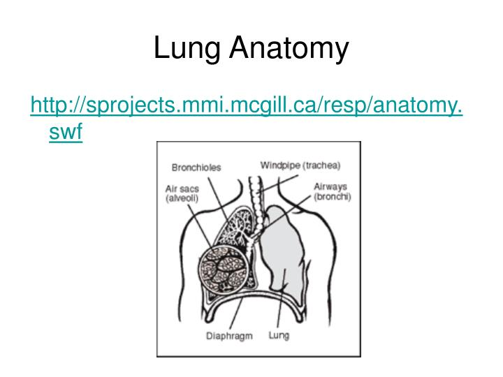 Ppt Lungs And Alveoli Powerpoint Presentation Id5511100