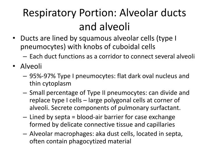 Respiratory Portion: Alveolar ducts and alveoli