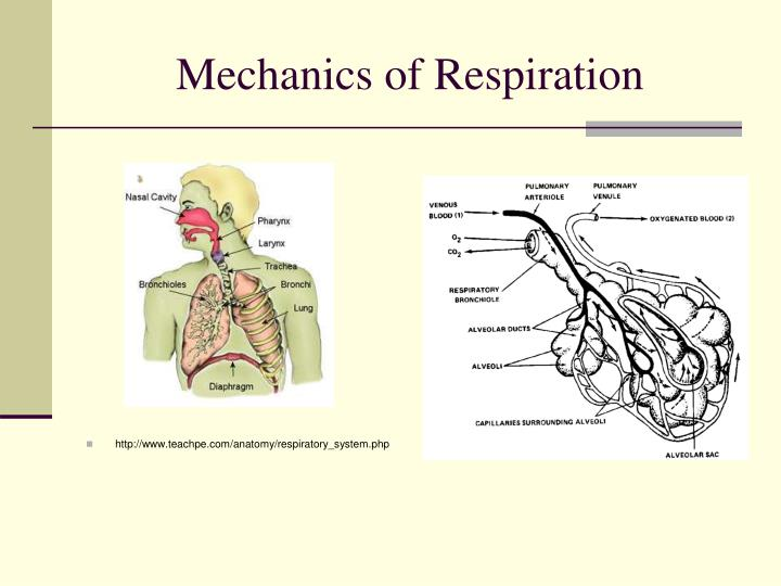 mechanics of respiration Human respiratory system - the mechanics of breathing: overview of the mechanics of respiration encyclopædia britannica, inc the lung–chest system.