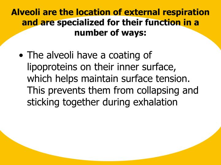 The alveoli have a coating of lipoproteins on their inner surface, which helps maintain surface tens...