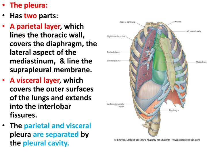 PPT - The Lung PowerPoint Presentation - ID:5512977