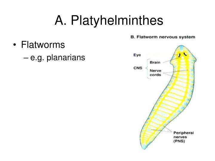 A platyhelminthes