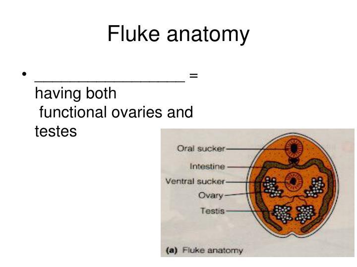 Fluke anatomy