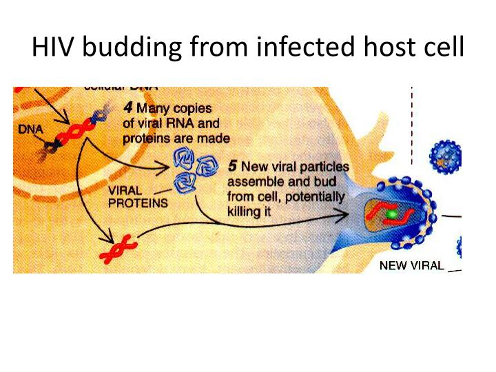 HIV budding from infected host cell
