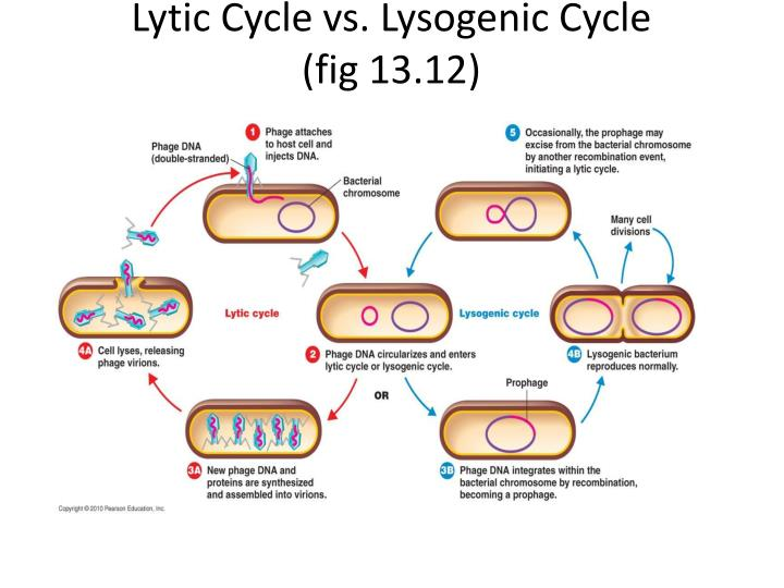 Lytic Cycle vs. Lysogenic Cycle