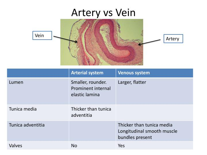 Ppt Histology For Pathology Circulatory System Powerpoint