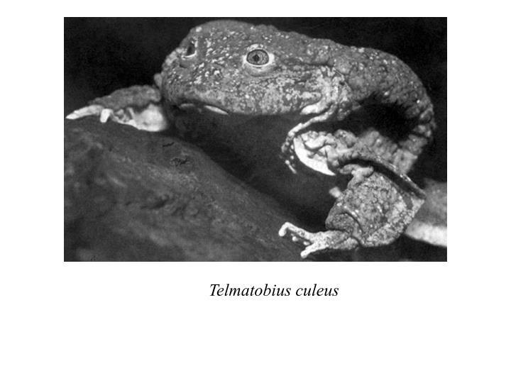 Telmatobius culeus