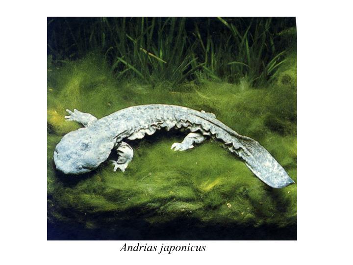 Andrias japonicus