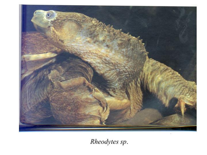 Rheodytes sp