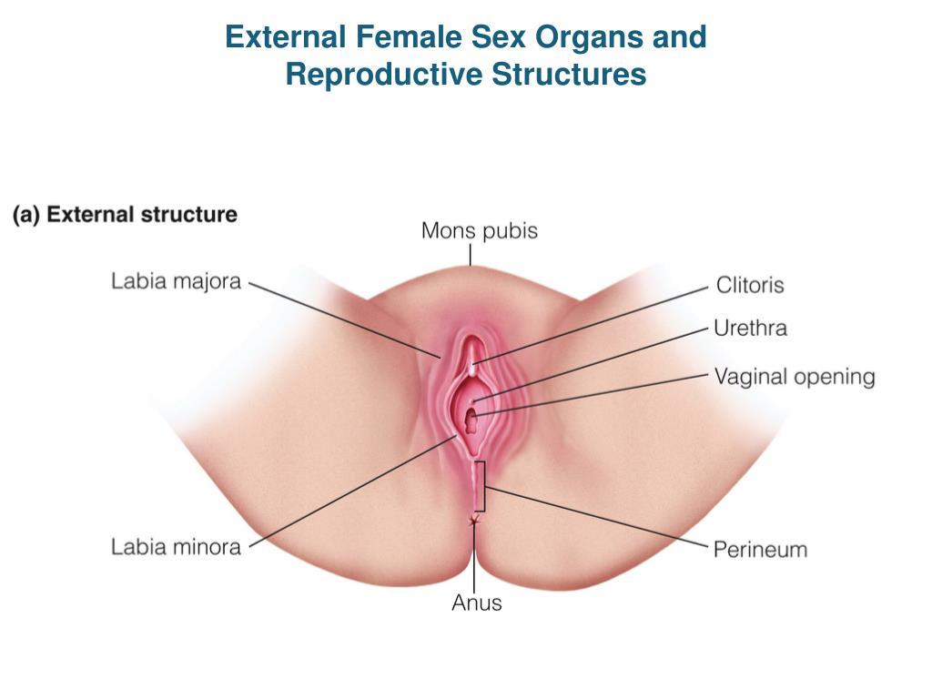 External sex organ