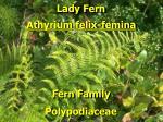 lady fern1