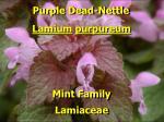 purple dead nettle1