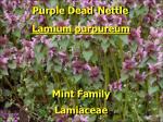 purple dead nettle2