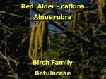 red alder catkins