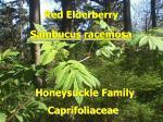 red elderberry2