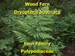 wood fern1