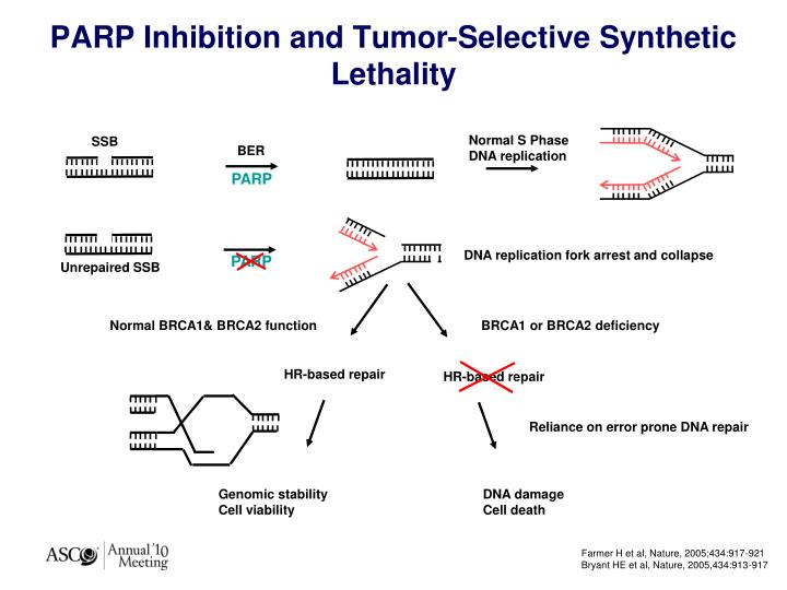 Parp inhibition and tumor selective synthetic lethality