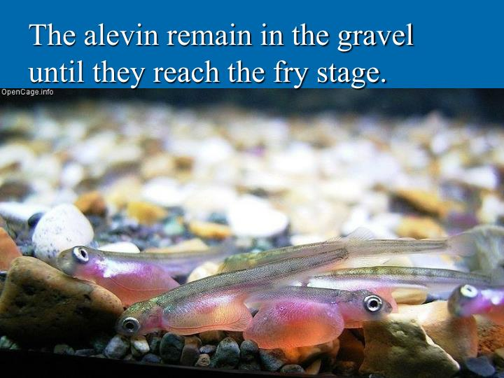 The alevin remain in the gravel until they reach the fry stage.