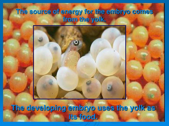 The source of energy for the embryo comes from the yolk.