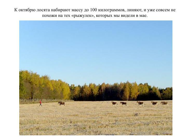 К октябрю лосята набирают массу до 100 килограммов, линяют, и уже совсем не похожи на тех «рыжулек», которых мы видели в мае.