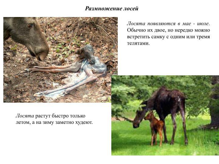 Размножение лосей