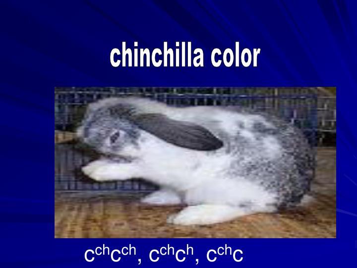 chinchilla color