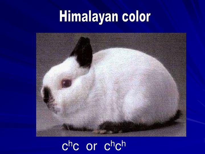 Himalayan color
