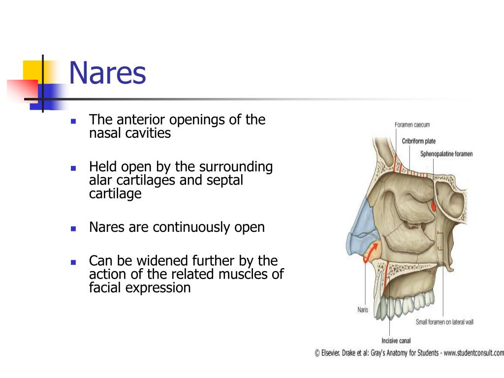 Ppt The Nasal Cavity Powerpoint Presentation Free