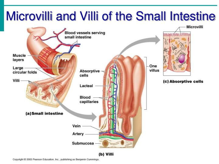 Ppt Chapter 14 Part 2 The Digestive System Powerpoint